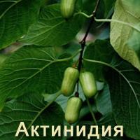 Актинидия