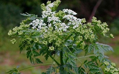 болиголов пятнистый ядовитое растение