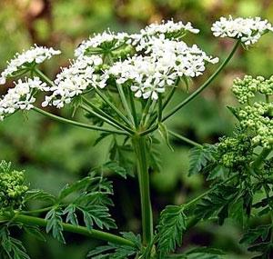 Кустовое комнатное растение