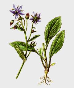 Бурачник лекарственный лекарственное растение