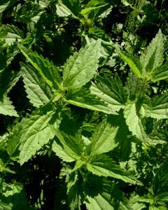 Применение лекарственных растений