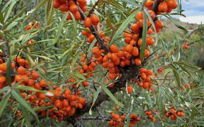 семена льна для понижения холестерина