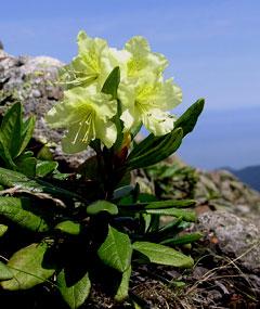 золотистый рододендрон фото