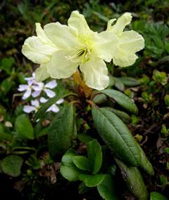 рододендрон золотистый фото