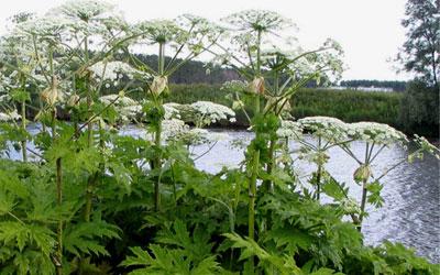 http://medgrasses.ru/img/zikuta.jpg